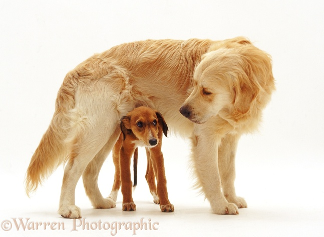 Golden Retriever dog, Jez, with Saluki Lurcher pup, white background