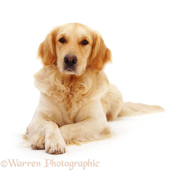 Golden Retriever dog, Barney, with crossed paws, white background