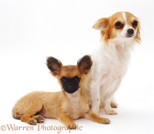 Long-coated tricolour Chihuahua bitch Dior, 1 year old, with short-coated pup, white background