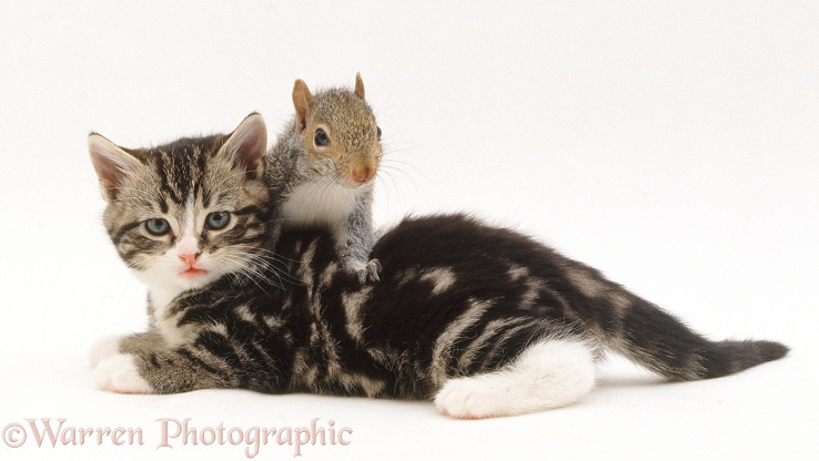 Tabby Kitten and Grey Squirrel (Sciurus carolinensis)