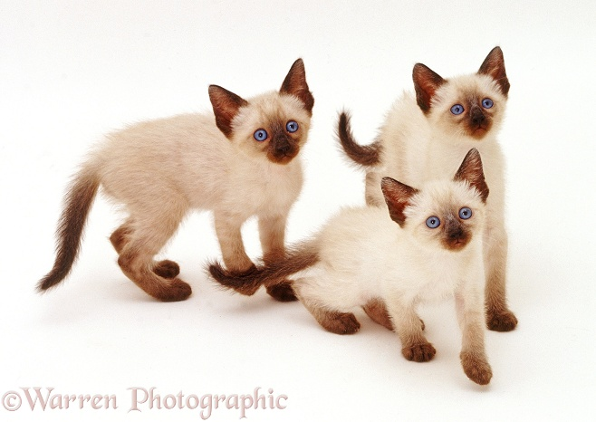 Three Siamese kittens looking up