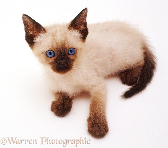 Siamese kitten lying down and looking up, white background