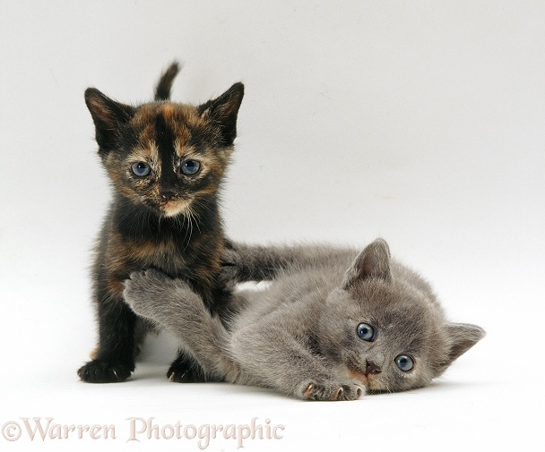 Two kittens, white background