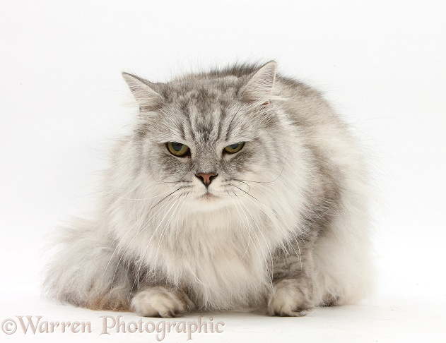 Chinchilla Persian cat, Horace, looking grumpy, white background