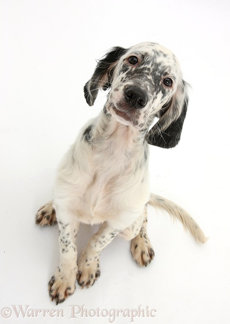 Blue Belton English Setter pup, Belle, 16 weeks old, sitting and looking up, white background