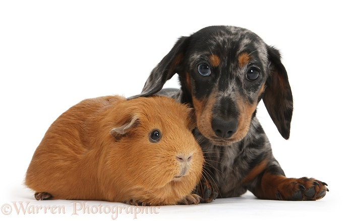 Tricolour merle Dachshund pup and red Guinea pig, white background