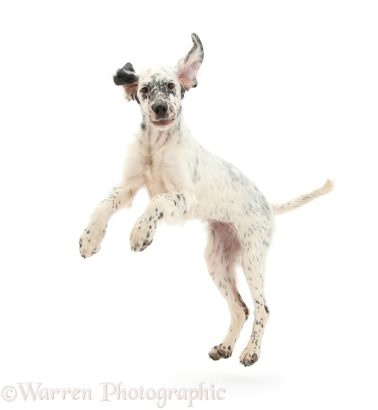 Blue Belton English Setter pup, Belle, 16 weeks old, leaping around, white background