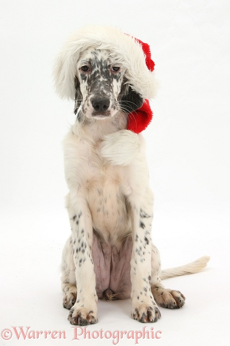Blue Belton English Setter pup, Belle, 16 weeks old, wearing a Father Christmas hat, white background