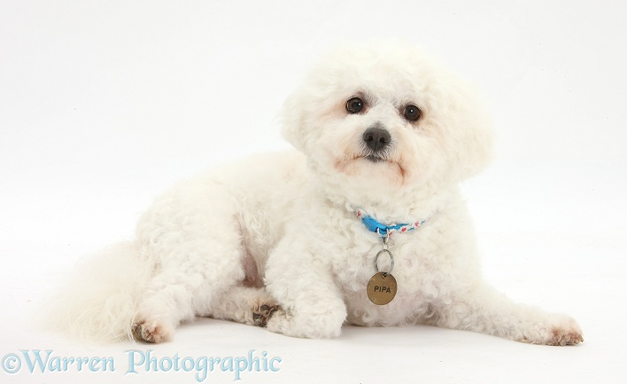 Bichon Frise bitch, Pipa, wearing collar and name tag, white background