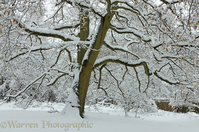 Early Snow on Oak (Quercus robur) tree.  Surrey, England