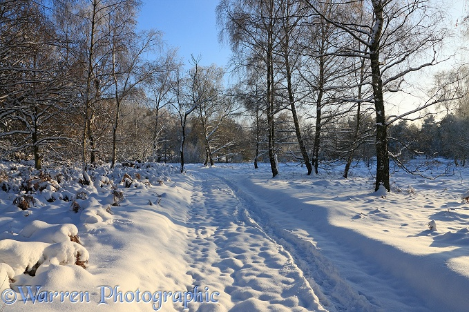 Early Snow on country track and Silver Birch (Betula pendula) trees.  Surrey, England