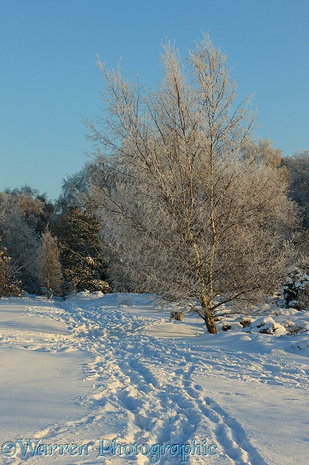 Rime-covered Silver Birch (Betula pendula) tree and snow.  Surrey, England