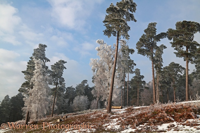 Rime-covered Scots Pine (Pinus sylvestris) trees.  Surrey, England