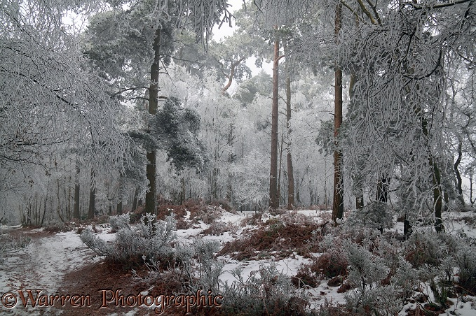 Rime-covered trees.  Surrey, England