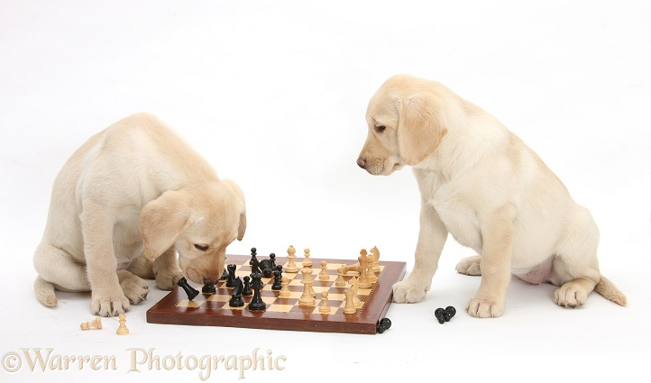Yellow Labrador Retriever bitch pups, 10 weeks old, playing chess, white background