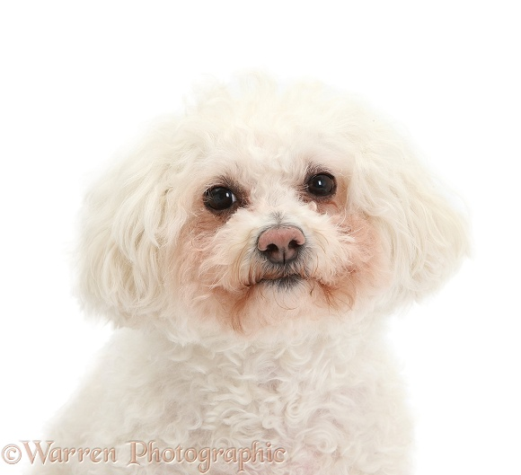 Bichon Frise bitch, Poppy, white background