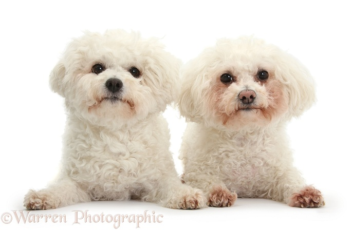 Bichon Frise bitches, Poppy and Pipa, white background