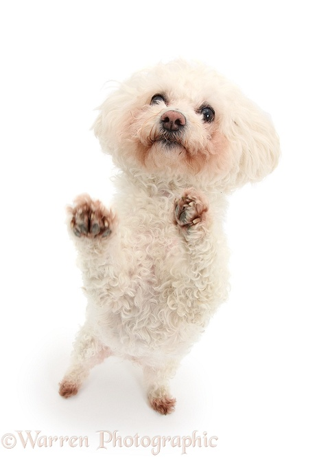 Bichon Frise bitch, Poppy, standing up and begging, white background