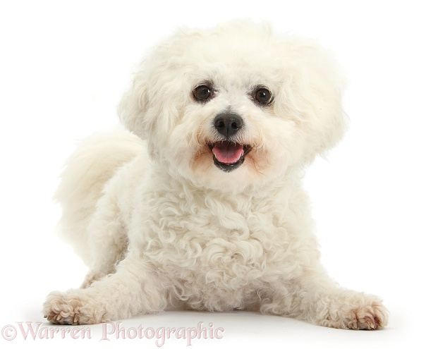 Bichon Frise bitch, Pipa, white background