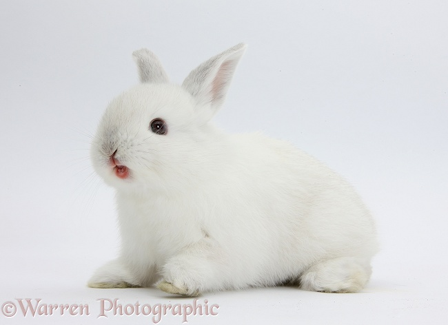 Young white rabbit bearing his teeth, white background