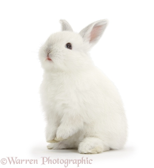 Young white rabbit sitting up on its haunches, white background