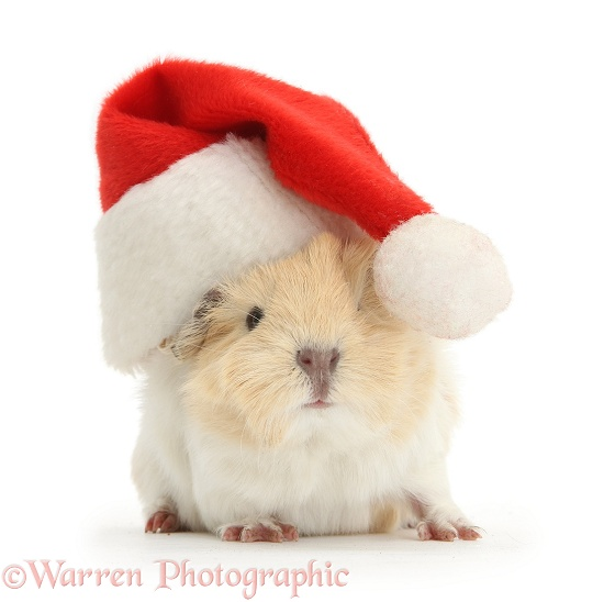 Baby Guinea pig wearing a Father Christmas hat, white background