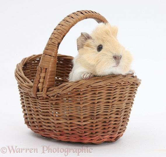 Baby Guinea pig in a wicker basket, white background