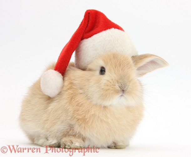 Young Sandy rabbit wearing a Father Christmas hat, white background