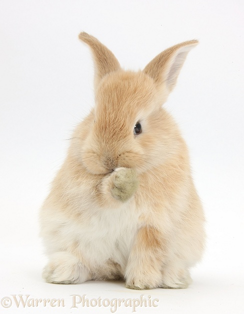 Young Sandy rabbit grooming a paw, white background