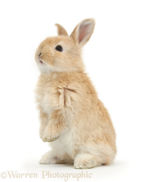 Young Sandy rabbit standing up on its haunches, white background