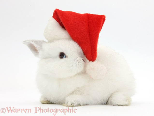 Young white rabbit wearing a Father Christmas hat, white background