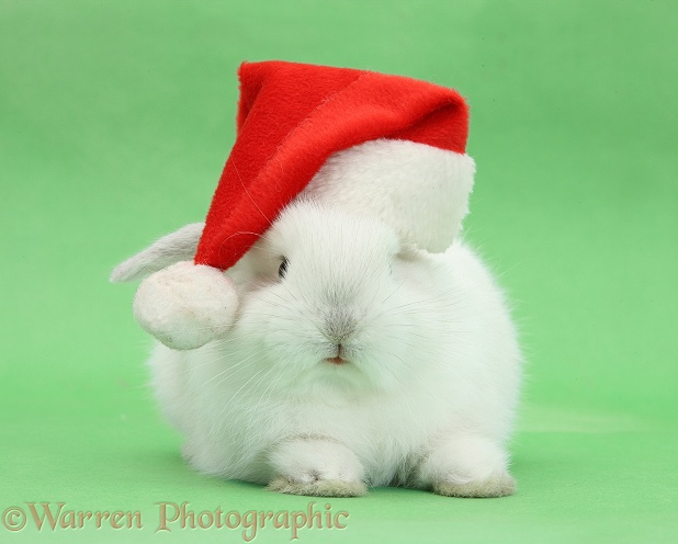 Young white rabbit wearing a Father Christmas hat, on green background