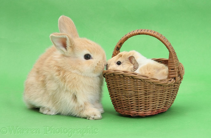 Young rabbit with baby Guinea pig in a wicker basket on green background