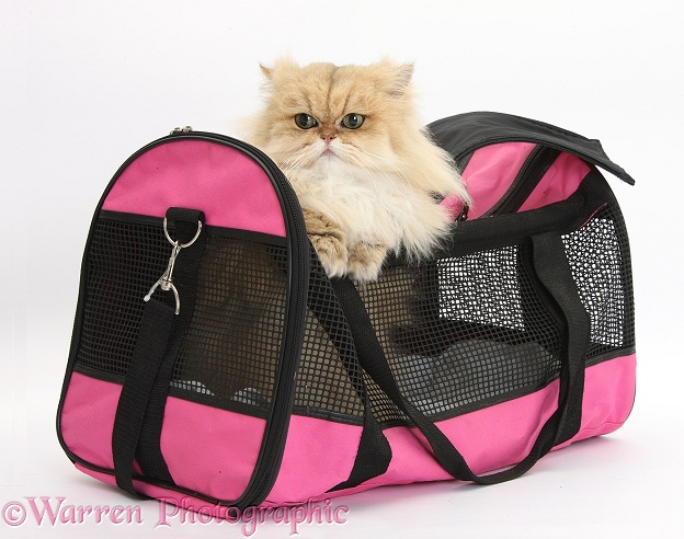 Golden Chinchilla Persian female cat, Jazzy, 6 years old, in a cat carrying bag, white background