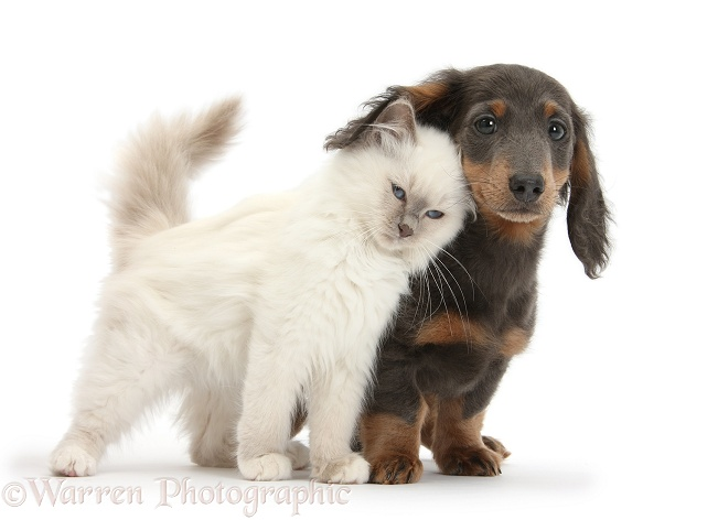 Blue-point kitten and blue-and-tan Dachshund pup, Baloo, 15 weeks old, white background