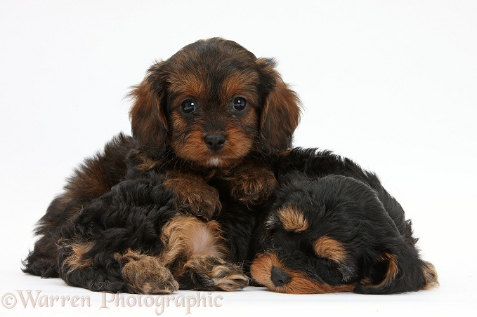 Sleepy black-and-tan Cavapoo pups