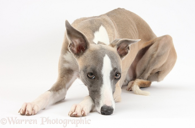 Whippet bitch, Tally, lying down with her chin on the ground, white background