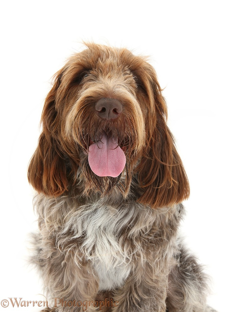 Brown Roan Italian Spinone dog, Riley, white background