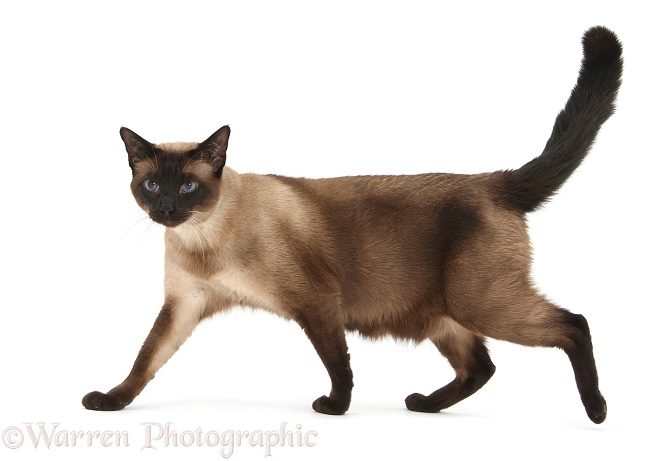 Seal point Siamese-cross cat, Chico, walking across, white background