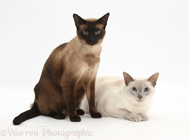 Seal point Siamese-cross cat, Chico, and Blue point Siamese-cross cat, Isaac, white background