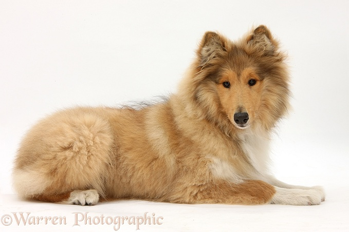 Rough Collie, Laddie, 5 months old, lying with head up, white background