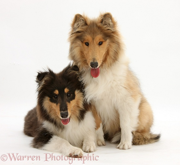 Rough Collies, Laddie and Flynn, both 5 months old, white background