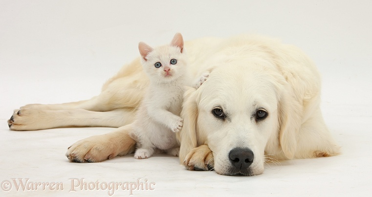 Golden Retriever, Daisy, 9 months old, with cream kitten, white background