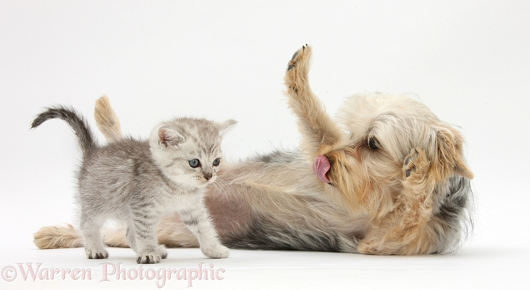Yorkshire Terrier, Evie, 6 months old, with tabby kitten, white background