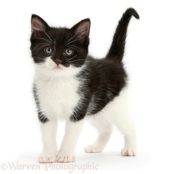 Black-and-white kitten standing, white background