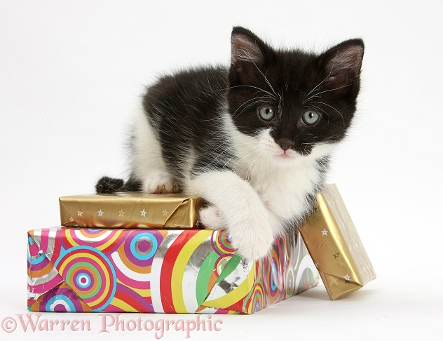 Black-and-white kitten lying on birthday parcels, white background