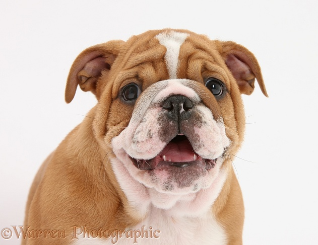 Bulldog pup, 8 weeks old, white background