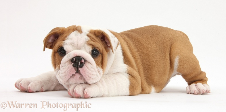Bulldog pup, 8 weeks old, with chin on paw, white background
