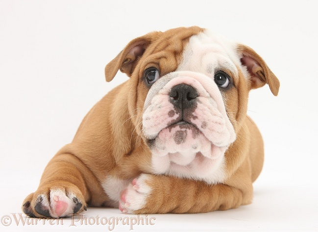Bulldog pup, 8 weeks old, lying with head up, white background
