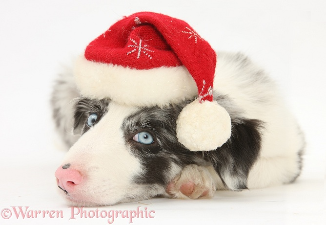 Blue merle Border Collie puppy, Reef, 9 weeks old, wearing a Father Christmas hat, white background